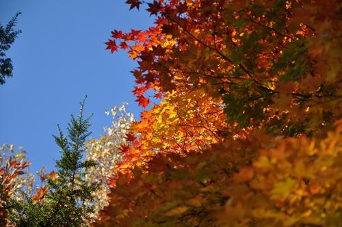 野幌開村緑地の紅葉