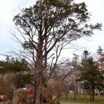 江別市保存樹木イチイ