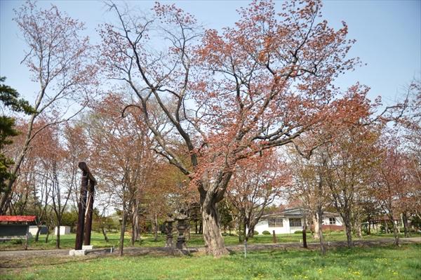 野幌神社の桜