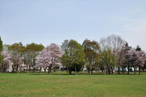 大麻東公園の桜と芝生