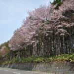 大麻駅西側の鉄道林の桜