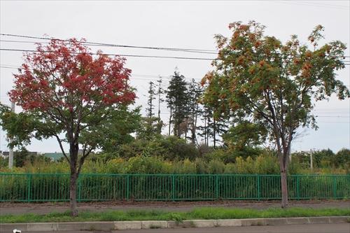 ナナカマドの紅葉と緑葉