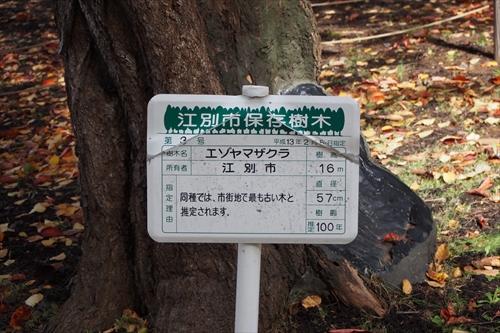 江別市保存樹木・エゾヤマザクラ