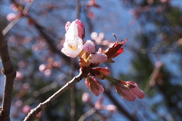 開花し始めのエゾヤマザクラ