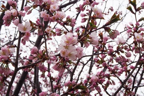 大麻地区の桜開花