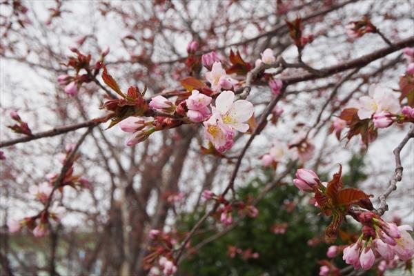 エゾヤマザクラ開花