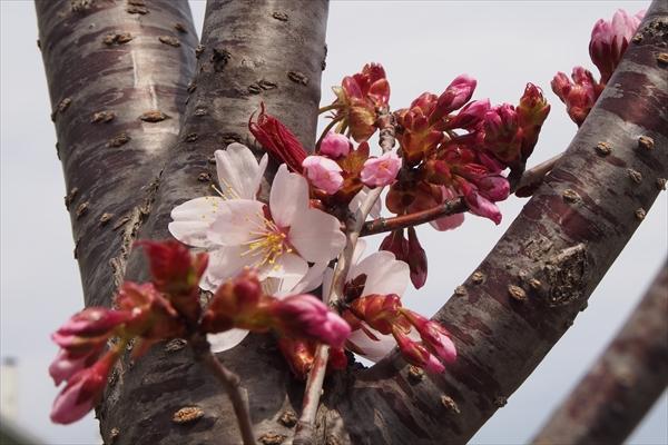エゾヤマザクラ花と幹