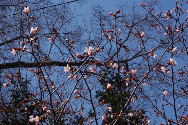錦山天満宮の桜