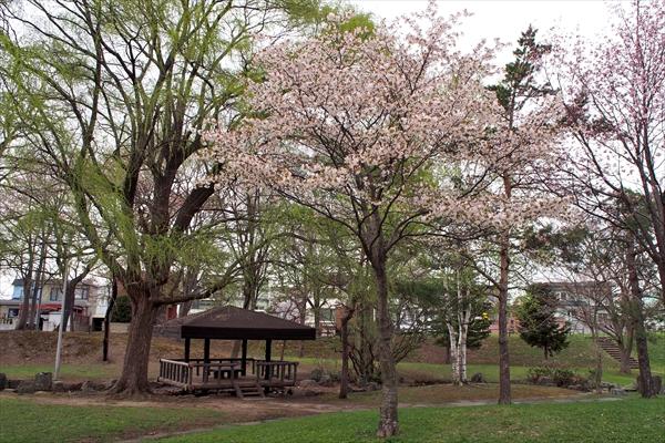 錦町公園の桜・柳・シラカバ