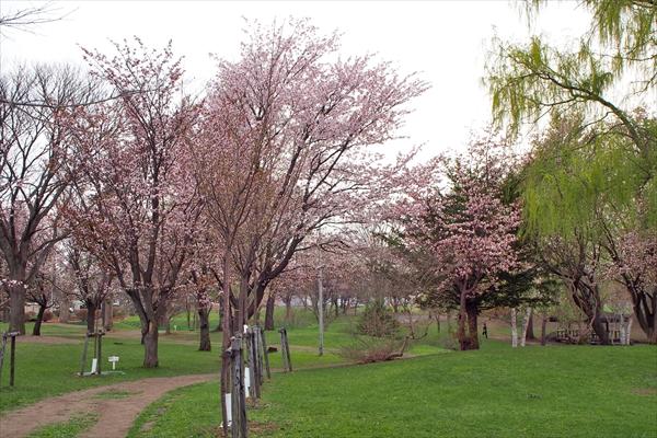 錦町公園エゾヤマザクラ