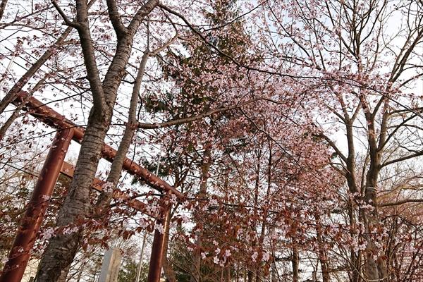 錦山天満宮の桜2018