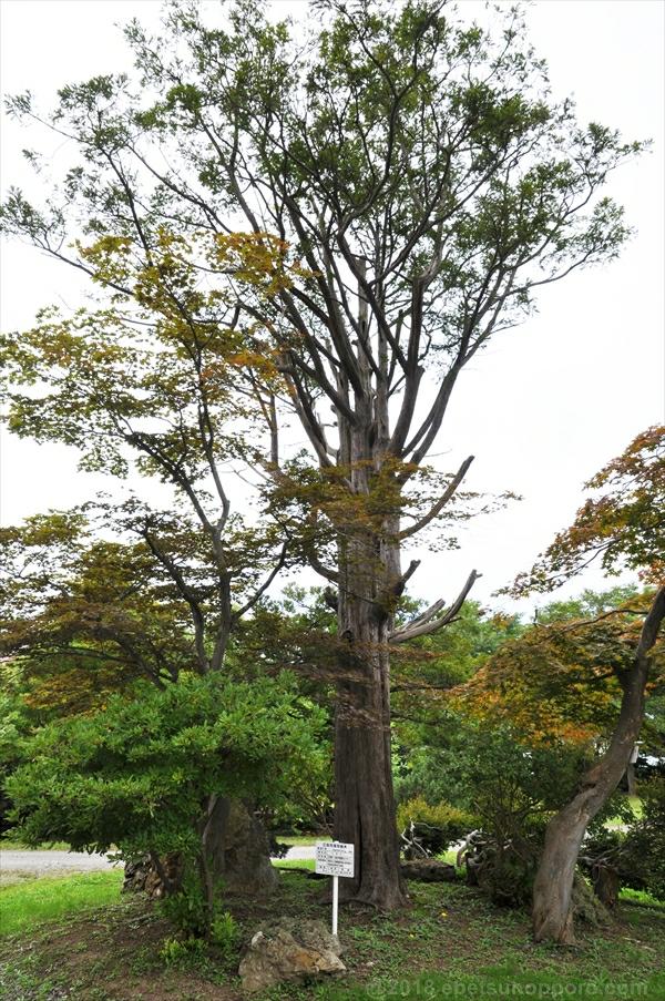 江別市保存樹木・イチイの木
