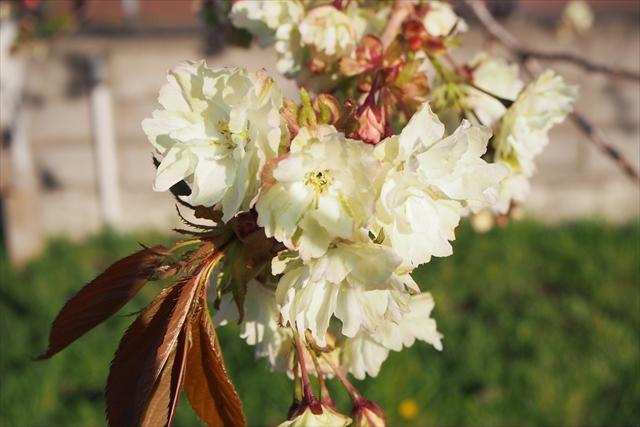 珍しい緑色の桜・御衣黄