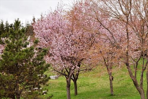 平岡公園の桜