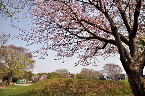 大麻東公園の桜の巨木