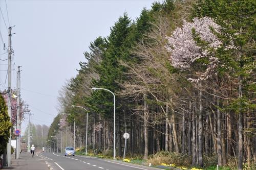 大麻駅東側の鉄道林の桜