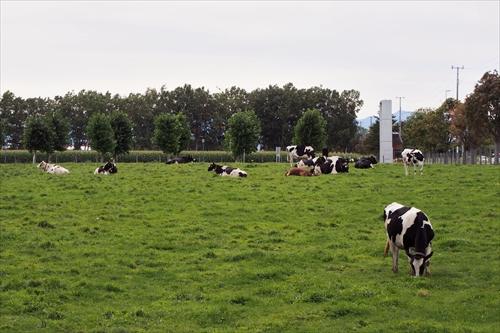牧草地と牛