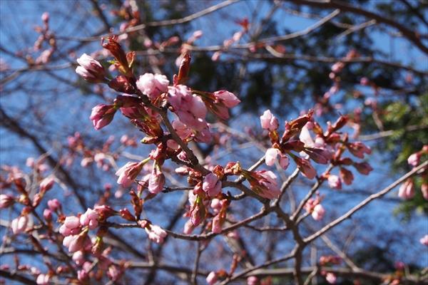 錦山天満宮境内の桜