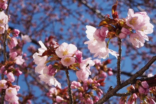 開花したエゾヤマザクラ
