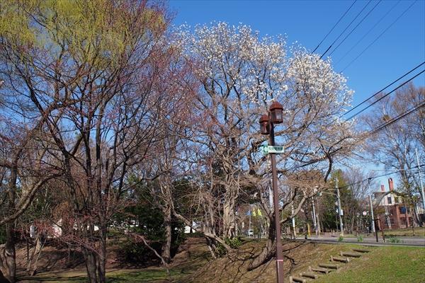 錦山緑地の桜とキタコブシ