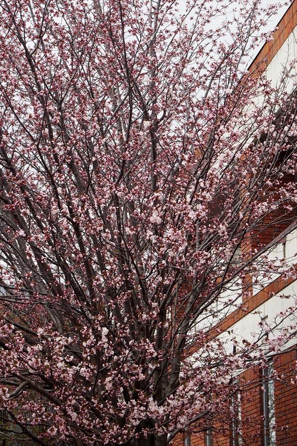 えぽあホール横の桜