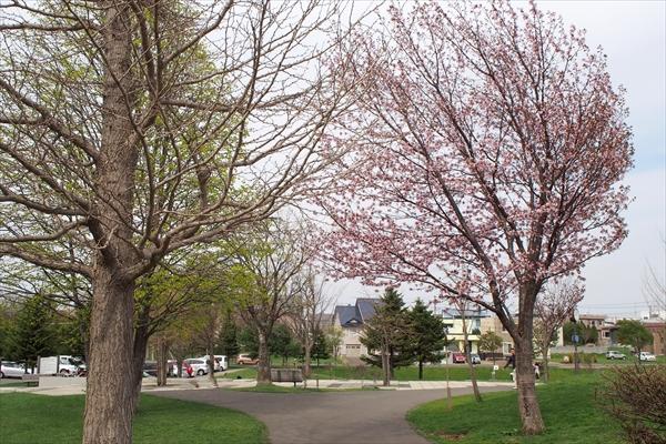 湯川公園の桜