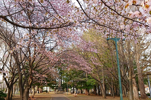 野幌開村緑地の桜2018