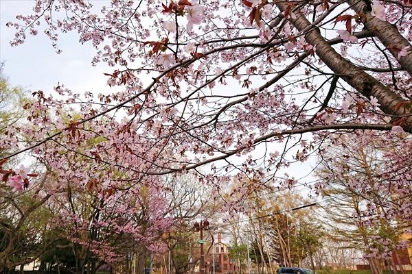 錦山緑地の桜2018
