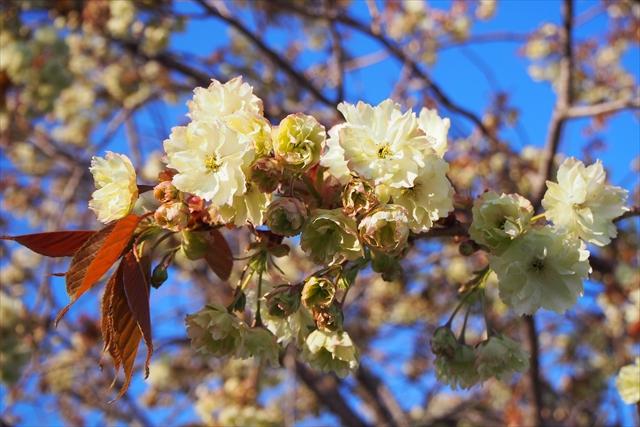 珍しい緑色の桜の花びら
