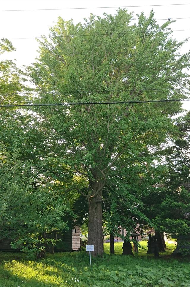 江別市保存樹木 第72号イチョウ樹齢80年